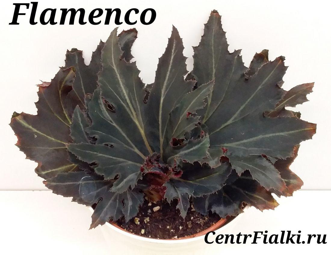Begonia Flamenco