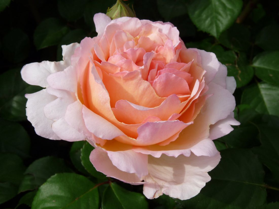 Роза Сувенир Де Баден-Баден (Rose Souvenir De Baden-Baden)