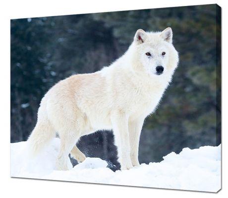 Картина на холсте Белый волк