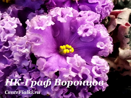 НК-Граф Воронцов (Н.Козак) Новинка