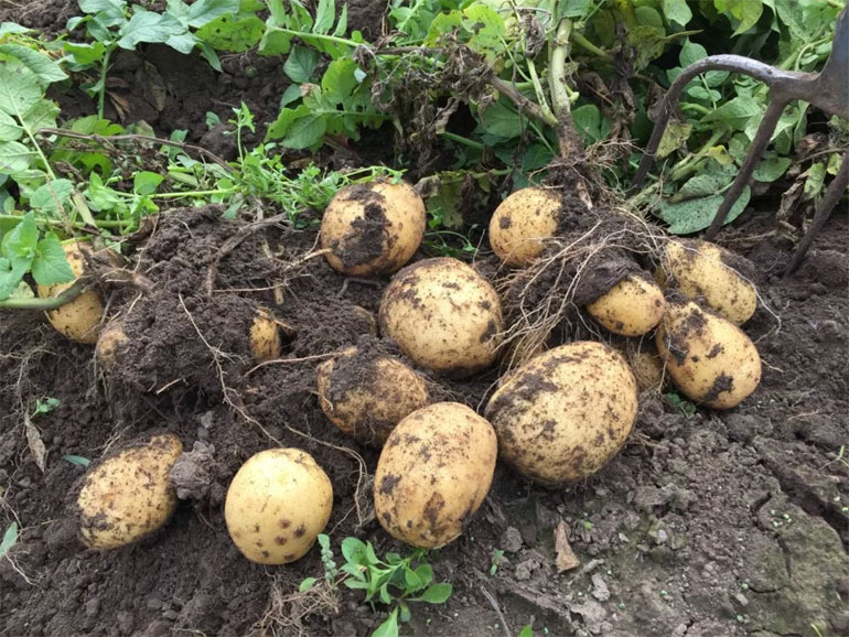 картофель семенной сорт адретта  1 кг