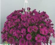 Остеоспермум ампельный фиолетовый