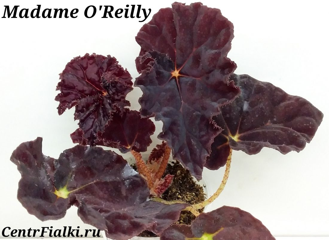 Begonia Madame O'Reilly