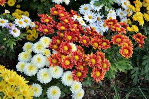 Хризантема корейская микс 84 шт