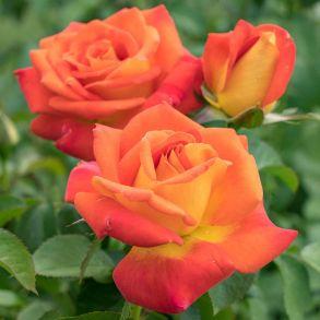 Роза Альсмергольд (чайно-гибридная)