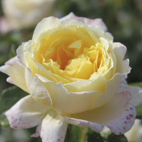 Роза Анести Интернешнл (плетистая)