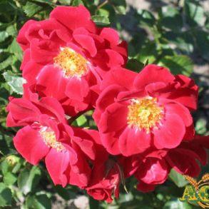 Роза Базино (почвопкровная)