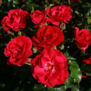 Роза Ротилия (клумбовая)