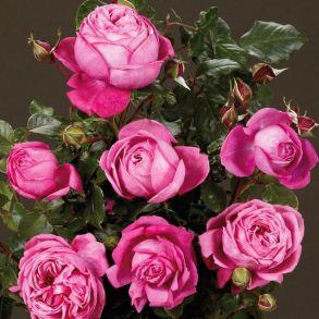 Роза Натали (спрей, мини, патио)