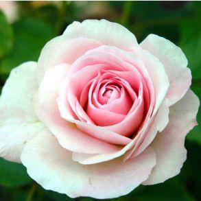 Роза канадская Morden Blush