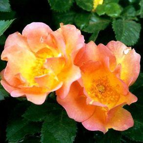 Роза канадская Morden Sunrise