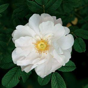Роза канадская Henry Hudson
