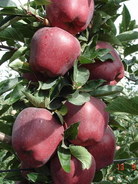 Яблоня, сорт Джеромини