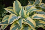 Хоста Лейксайд Драгонфлай (Hosta Lakeside Dragonfly)