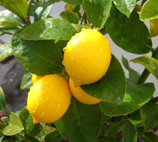 лимон меера