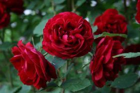 Роза Хоуп фо Хьюманити (Rose Hope for Humanity)