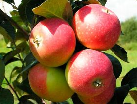 Яблоня традиционная Елена