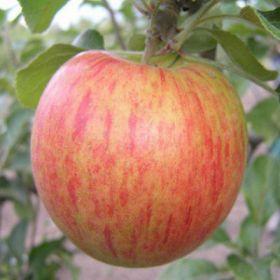 Яблоня традиционная Орлинка