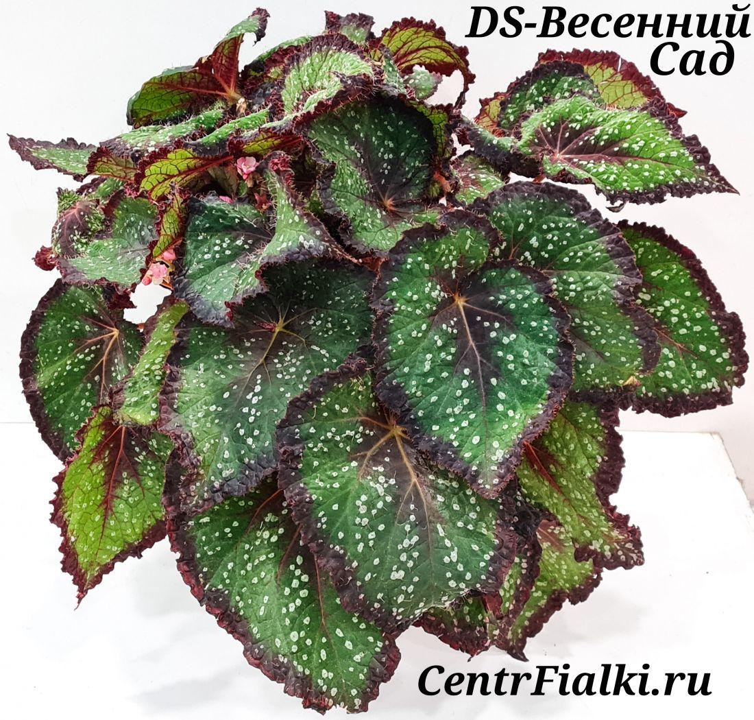 Бегония DS-Весенний Сад (Е. Еникеева)