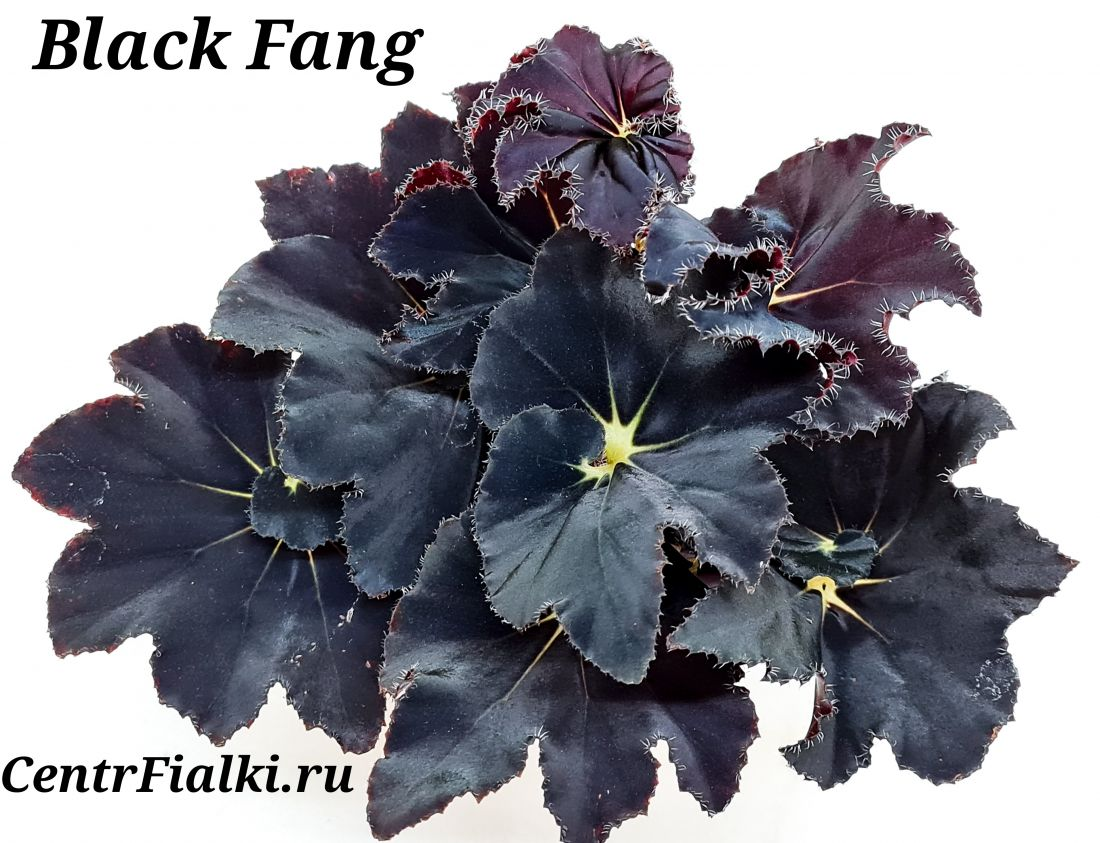 Бегония Black Fang