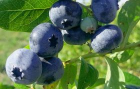 Голубика Блюкроп (Vaccinium corymbosum Bluecrop)