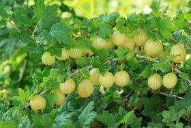 Крыжовник Берилл (Ribes uva-crispa Berill)