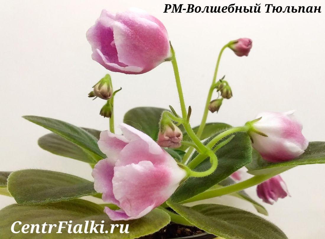 РМ-Волшебный Тюльпан (Н. Скорнякова)