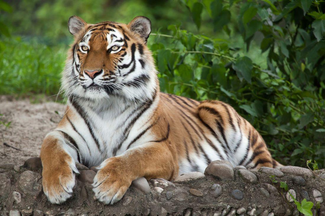 Тигр 3-141