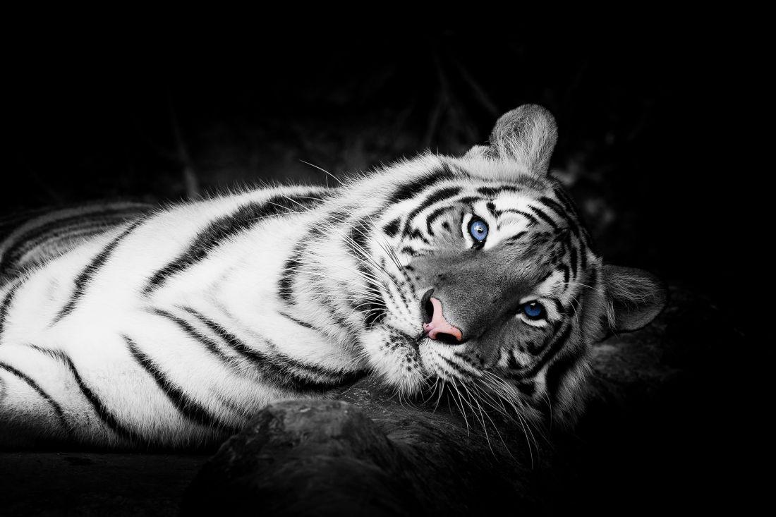 Тигр 3-053