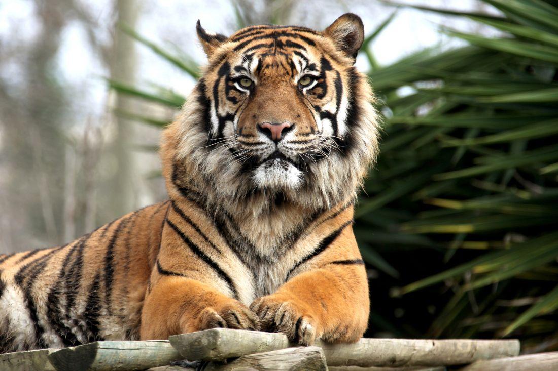 Тигр 3-052