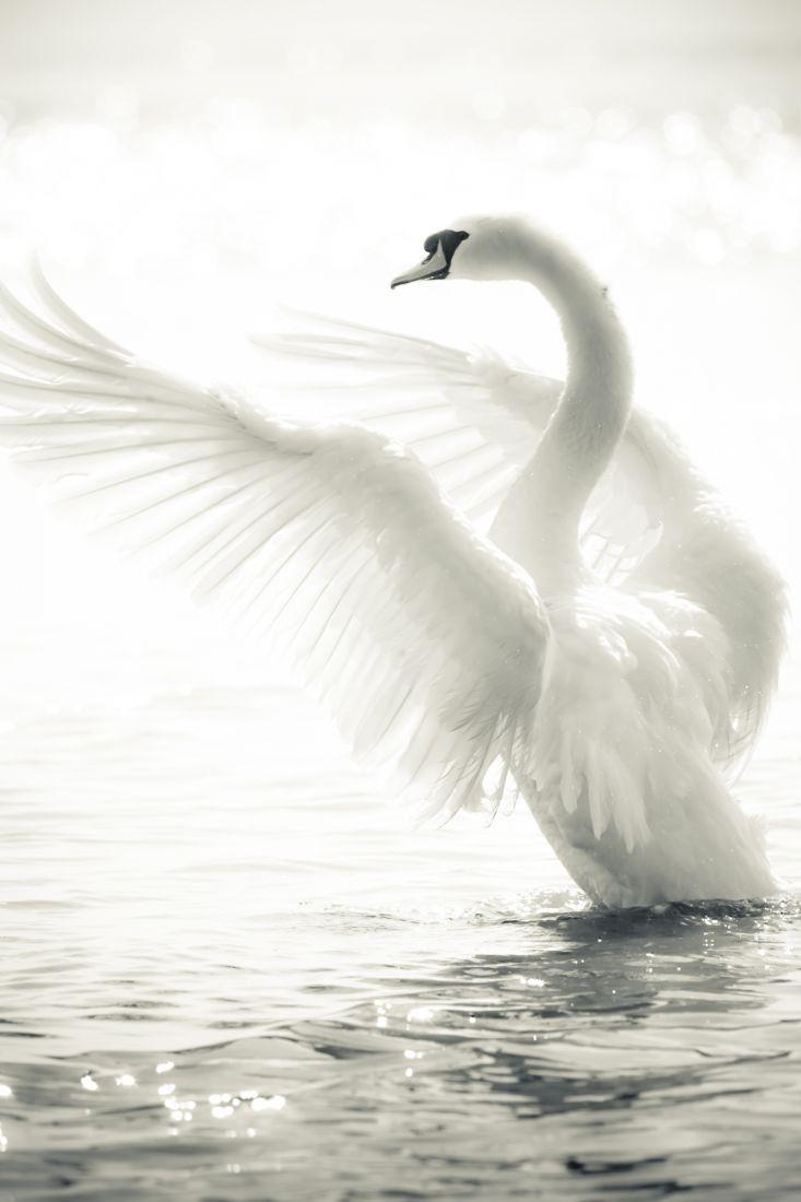 Белый лебедь 3-075