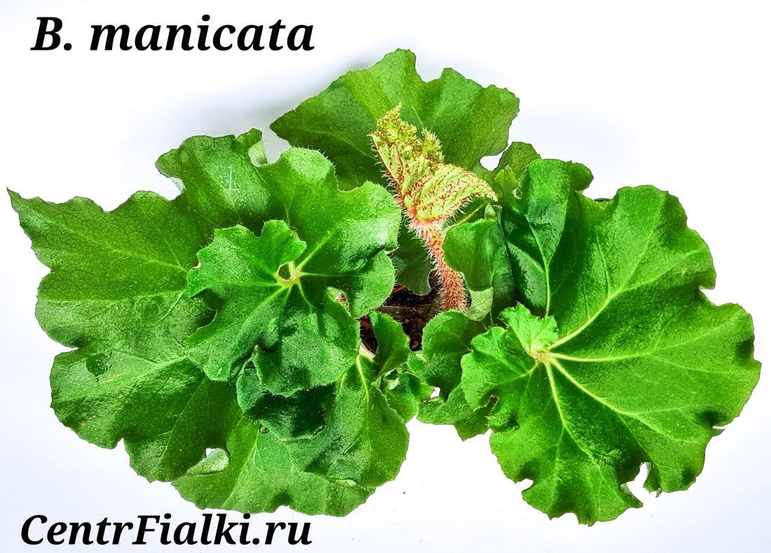 Бегония природная begonia manicata (воротничковая)