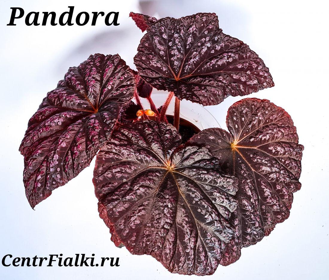 Бегония Pandora