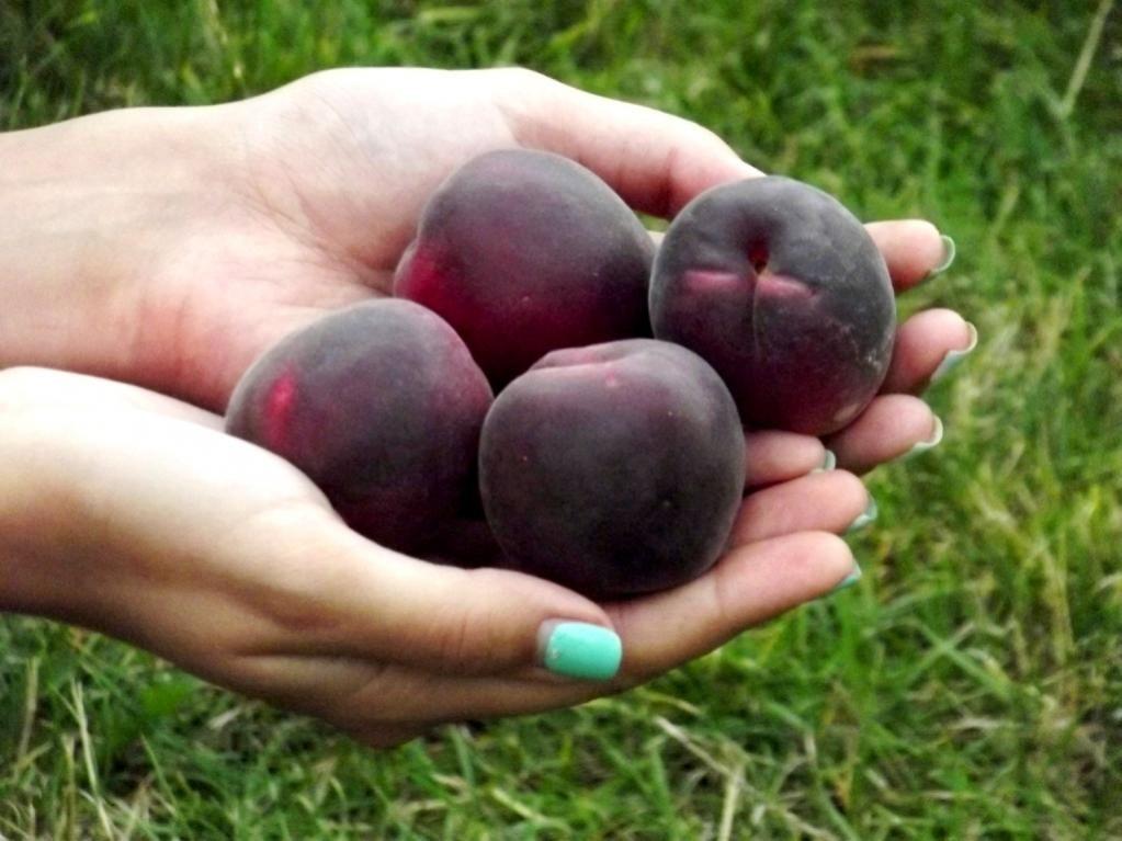 """""""Мышонок"""" - карликовый сорт черного абрикоса (абрикосоалычи)"""