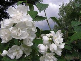 Чубушник венечный Белая дама